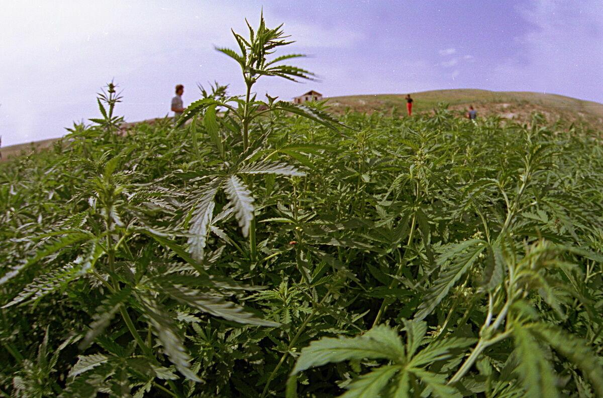 Цена марихуаны в казахстане знаменитости употребляющие марихуану